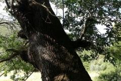 quercia-secolare